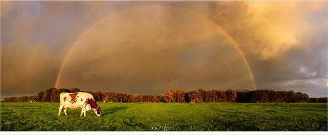 Een oerholland beeld: weide met koeien en een regenboog tijdens de zonsondergang (Nikon D810 + 35mm | ISO90 | f/11 | sluitertijd onbekend | 6 vertikale opnamen)