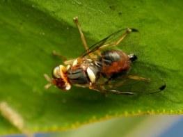 Image result for Olive fruit fly