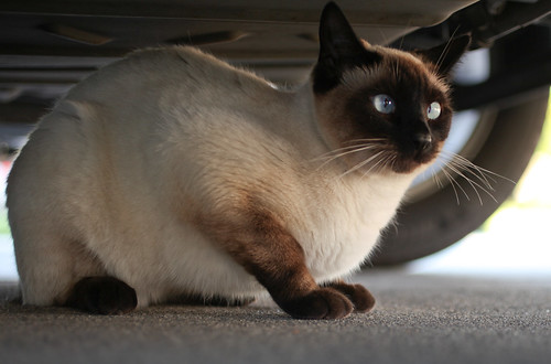 Do you let your cats go outside? Keep reading for 8 important reasons why my cats are indoor cats rather than outdoor cats.