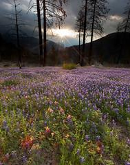 El Capitan and Yosemite Wildflowers