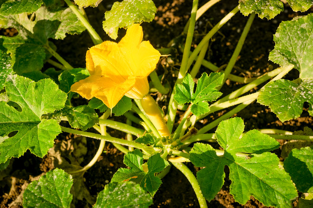 Yellow Squash Blossom in the White House Kitchen Garden