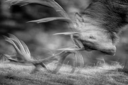 Red Deer Antler Rubbing