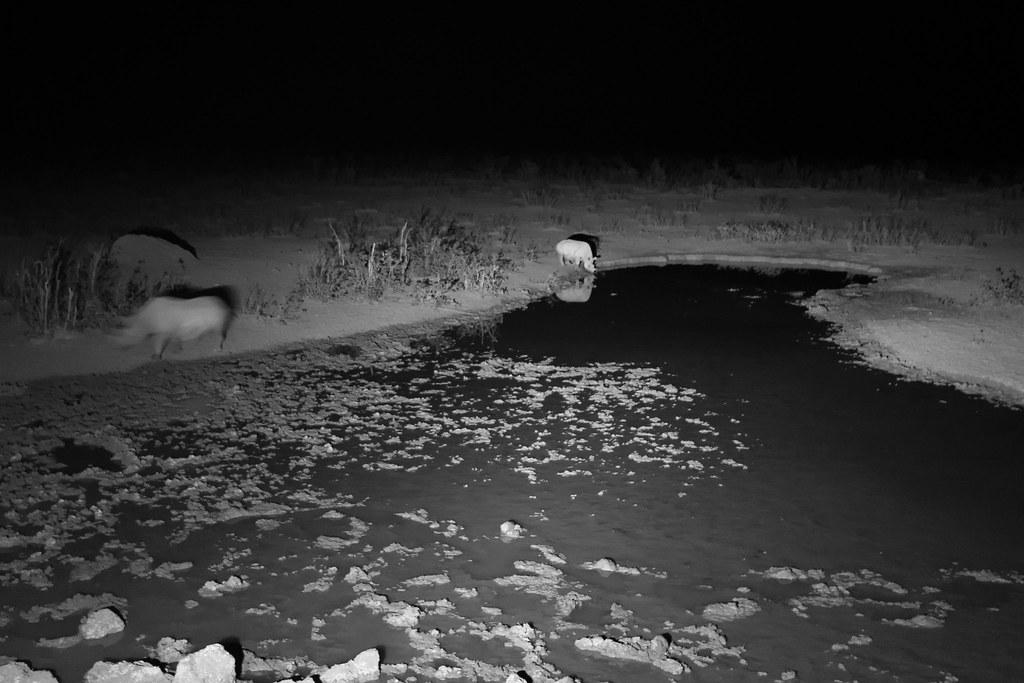 Nachts kommen die Spitzmalnashörner zum Saufen
