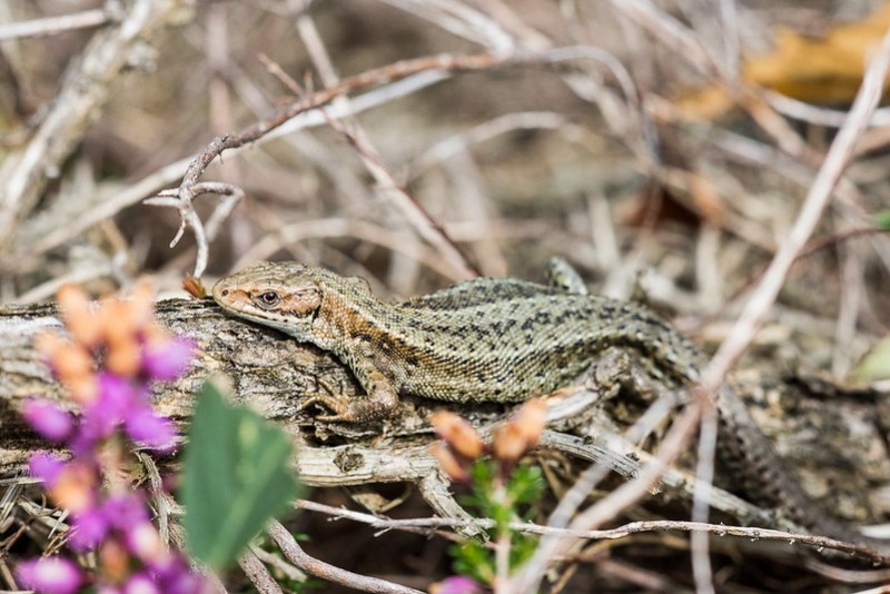 Common Lizard enjoying a few rays of sunshine at Norden Heath