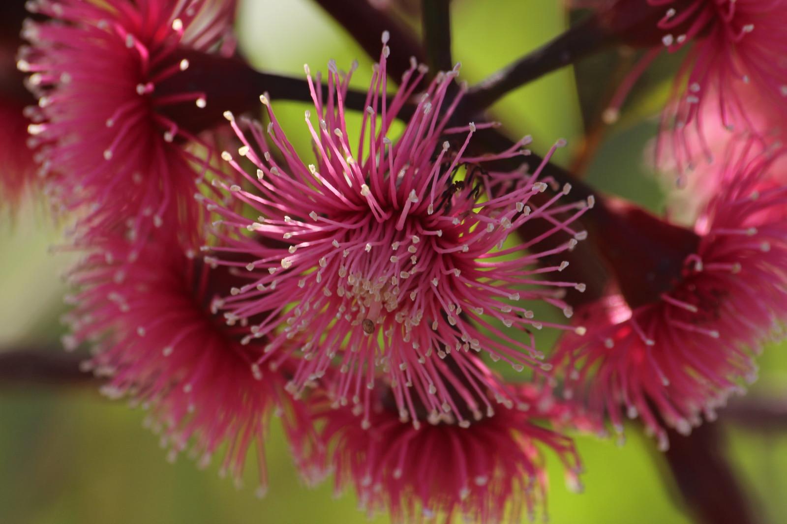 eucalyptus tree blossom
