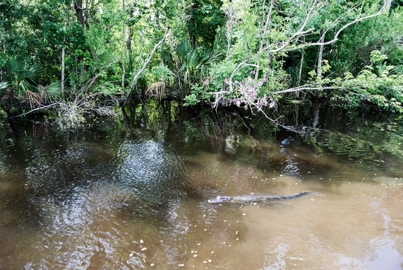 bayou-new-orleans-swamp-tour-gator-swimming
