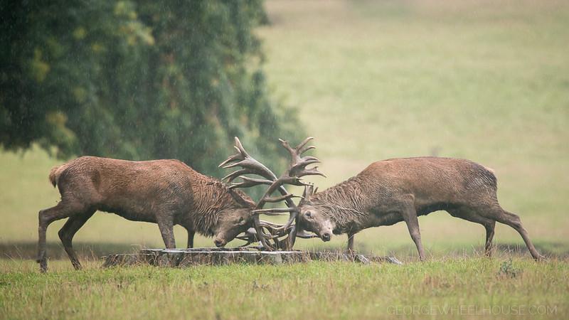 Red Deer Rut