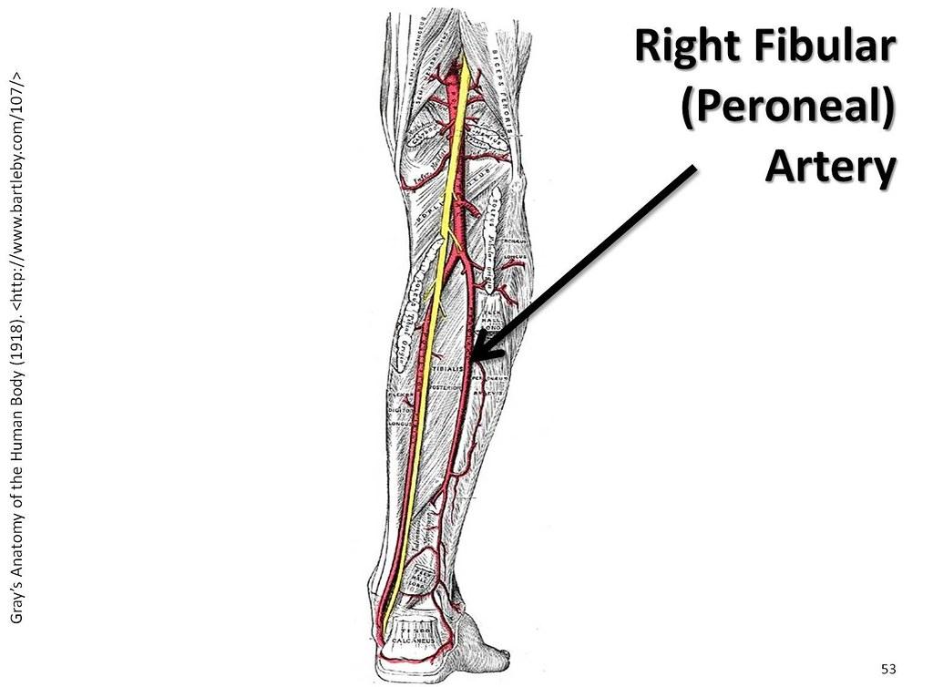 Superficial Leg Veins Anatomy