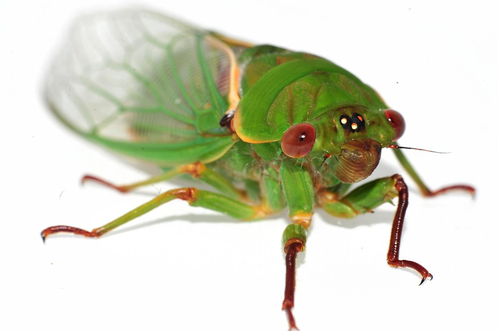 Green Grocer Cicada I Was Hoping Someone Would Help Me