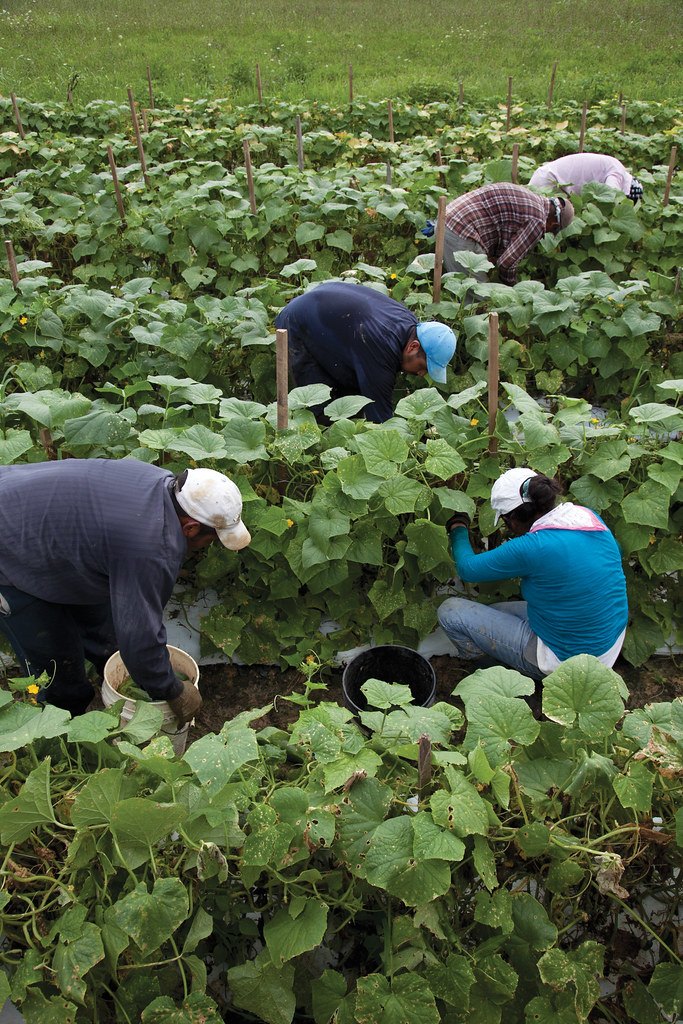 Farm Workers Picking Cucumbers Migrant Workers From