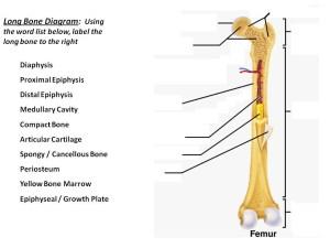 long bone diagram | timothyakeller | Flickr
