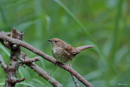 褐色叢樹鶯 Taiwan Bush Warbler   學名:Bradypterus alishanensis 英名:T…   Flickr