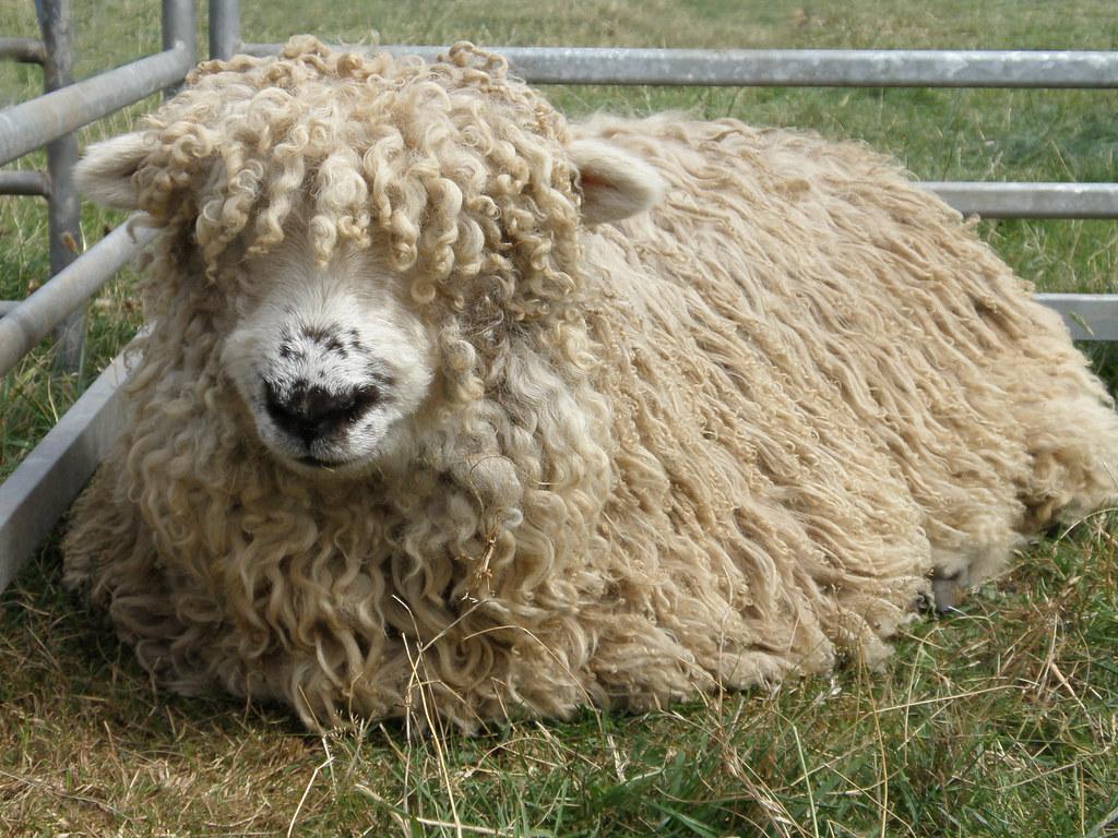 Curly Sheep Greyfaced Dartmoor Fillongley Show 2011