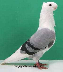 Image Result For How Pigeons