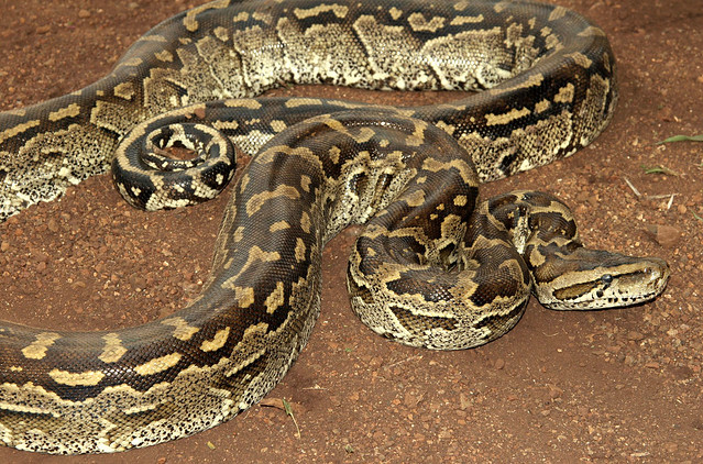 Full Grown African Rock Python