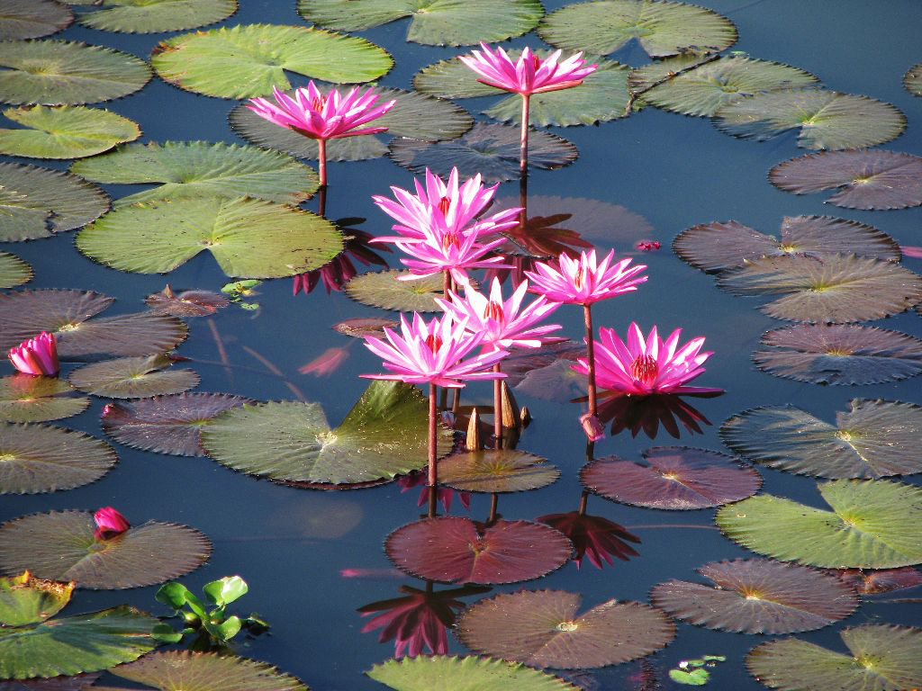 Lotus Flowers In Sunamganj Bangladesh Photo By Balaram M