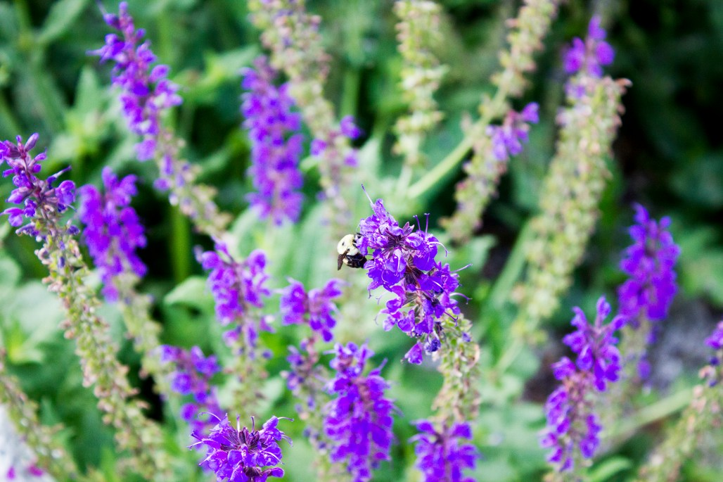 longwood-gardens-june-2016-bee