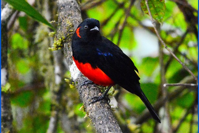 SCARLET-BELLIED MOUNTAIN TANAGER Anisognathus igniventris at the Yanacocha Reserve in Northwestern ECUADOR. Mountain-Tanager Photo by Peter Wendelken.