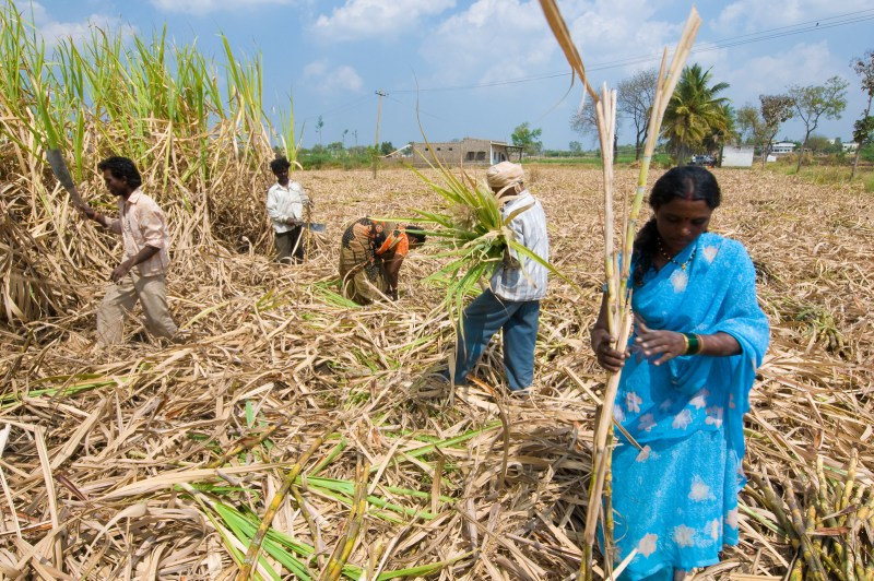 Sugar cane farming in Karnataka