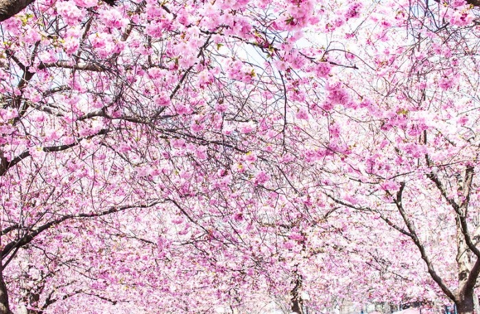rosa_cherries7