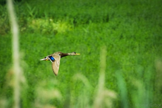 Mallard flyby