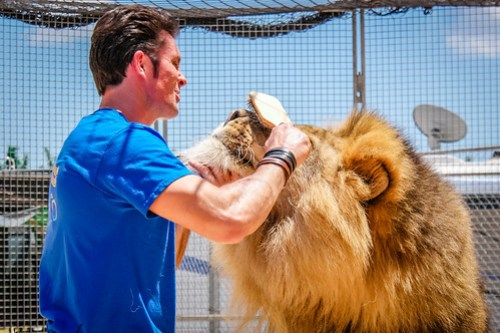 Alex Lacey, Big Cat Trainer Grooming a Lion