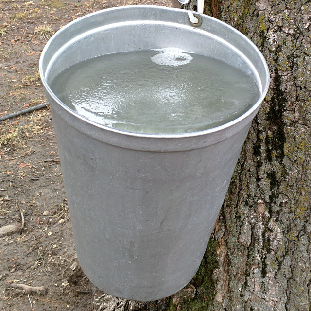 The fruits of our labour! Sappy right? #maplesugaring #sap #bucket #full #ice #homesteading #diy #Ontario #LexGoFurther
