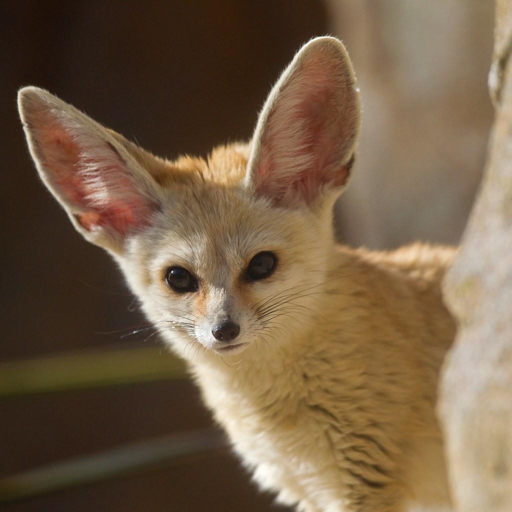 Curious Fennec Fox Vulpes Zerda
