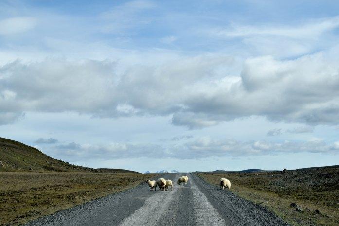 Ovejas en medio de la carretera F35 que cruza en centro de Islandia