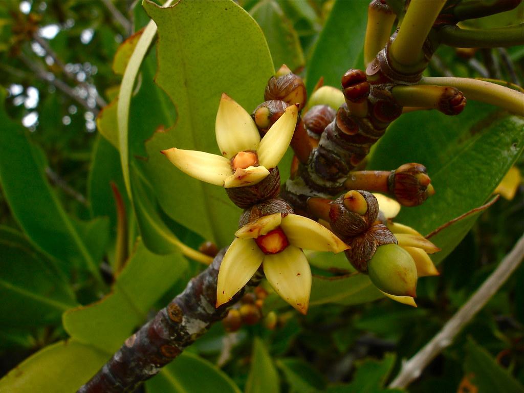 Rhizophora Apiculata Lauren Gutierrez Flickr