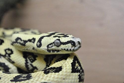 Isabelle 94 Diamond Jungle Jaguar Carpet Python