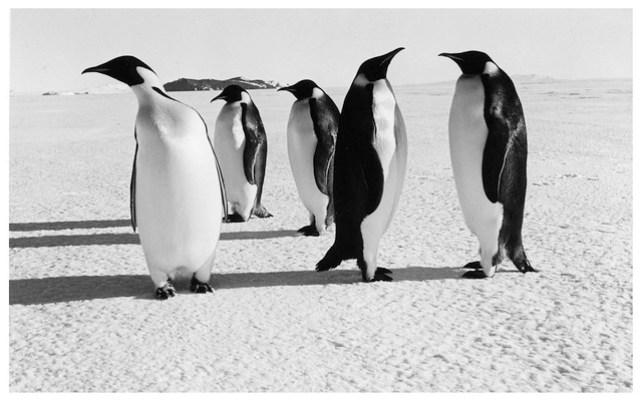 Emperor Penguins at Cape Royds