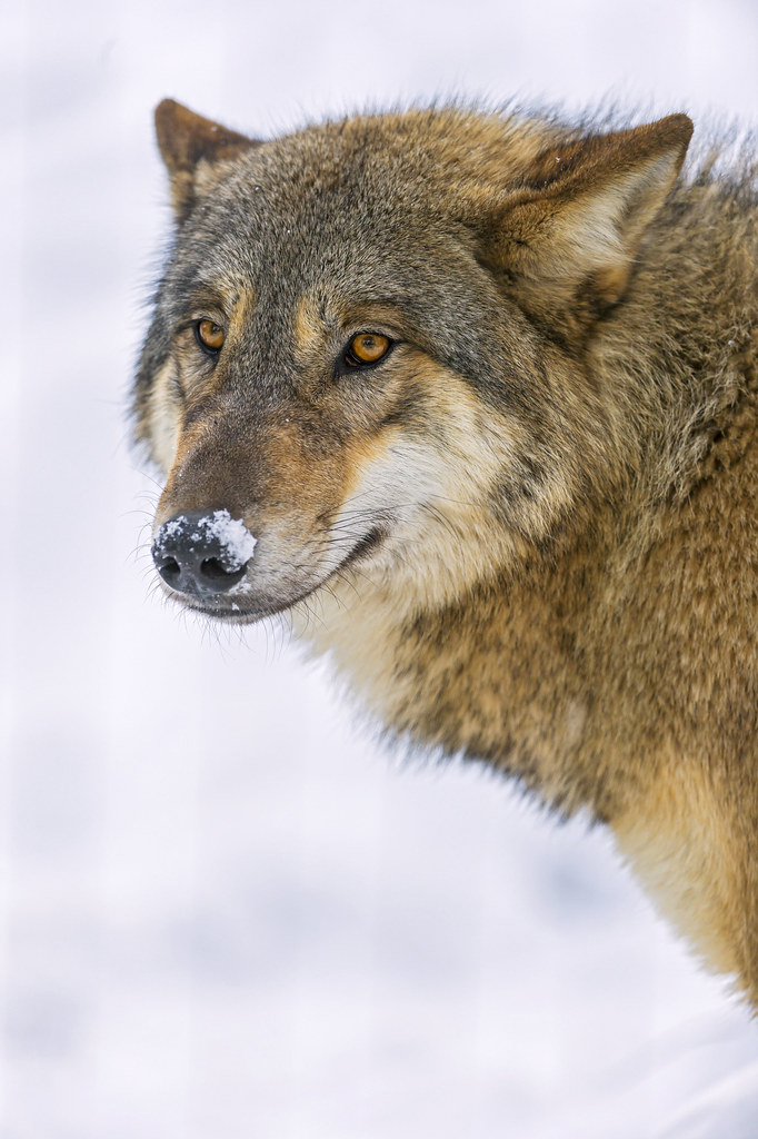 Wolf With Snow On The Nose This Wolf Was Searching Stuff