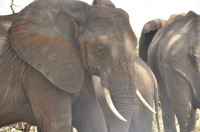 elephants closeup