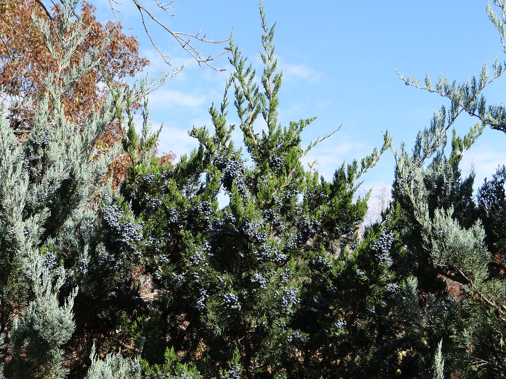 Virginiana Emerald Juniperus Pic Green