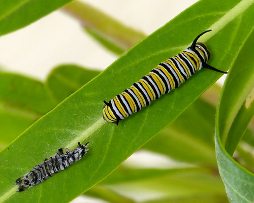 Just Moulted This Monarch Caterpillar Now 3rd Instar