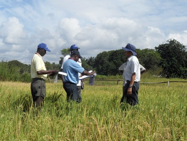 Tanzania - breeders inspect rice variety trial
