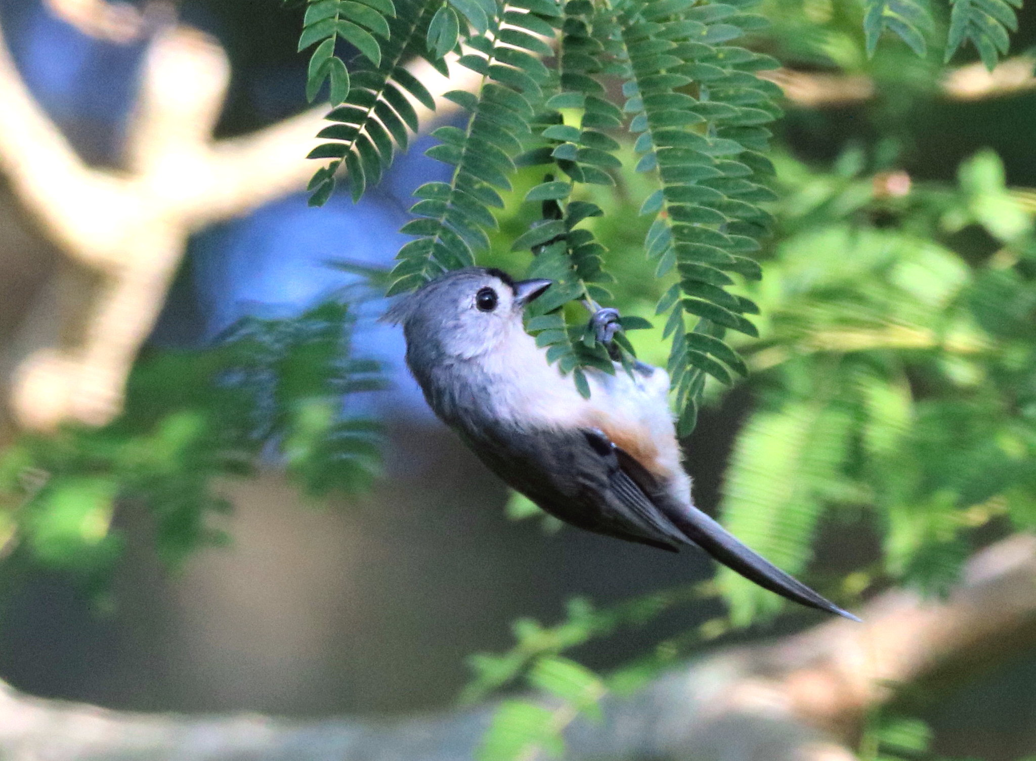 I found this cute little TUFTED TITMOUSE hanging around the house this morning. Yardbirds, Winter Haven, Fl.