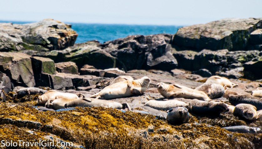 Seals - Tour with Lulu Lobster Boat, Bar Harbor, Maine, July 4, 2016