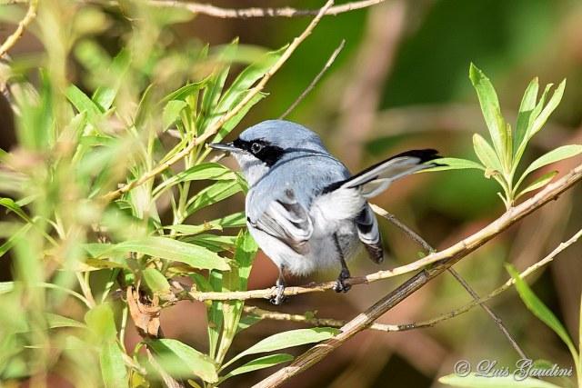 Tacuarita Azul (Polioptila dumicola)
