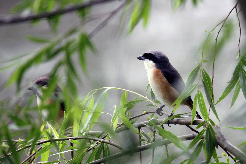 Birds of Lingkana