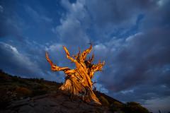 Blue Hour Pine