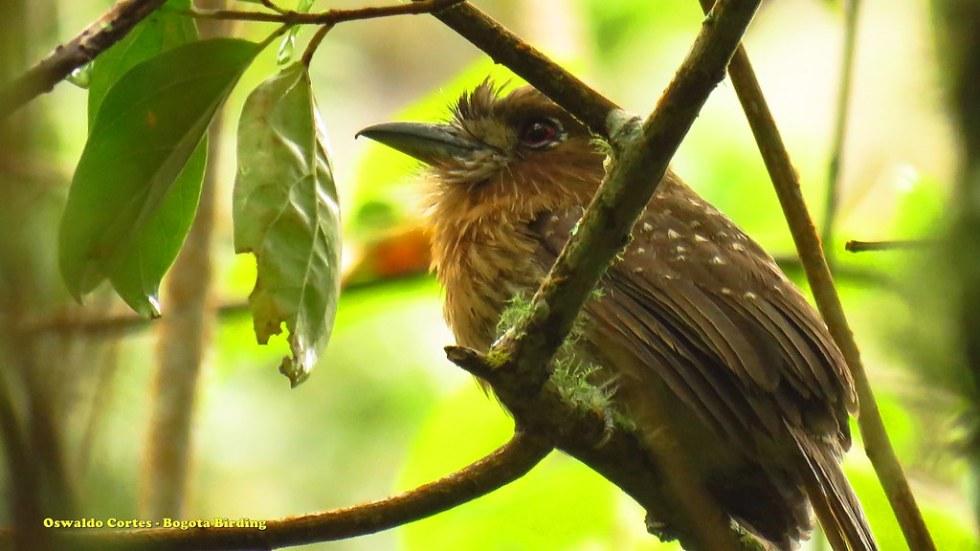 Moustached Puffbird, Malacoptila mystacalis