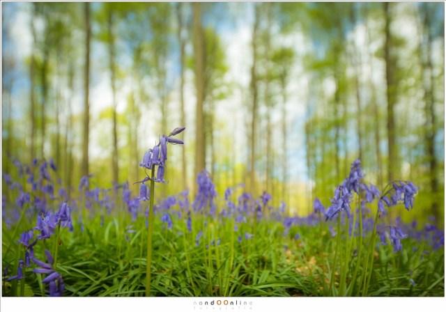 Bos hyacinten in het Hallerbos, met een extreem kleine scherptediepte dankzij de tilt-functie. (Canon EOS 5D mark III + TS-E 17mm f/4L | ISO200 | f/4 | 1/320)