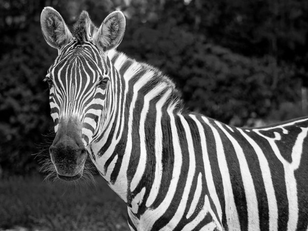 Striped stare