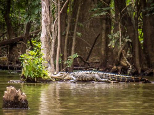 Sparkleberry Swamp-26