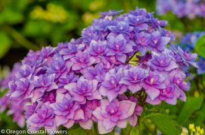 double lavender hydrangeas