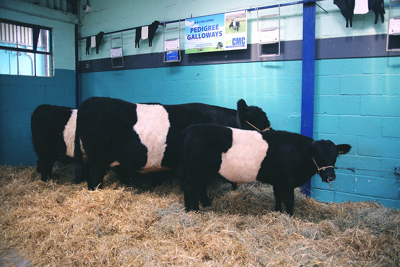 Cows at Royal Bath and West show
