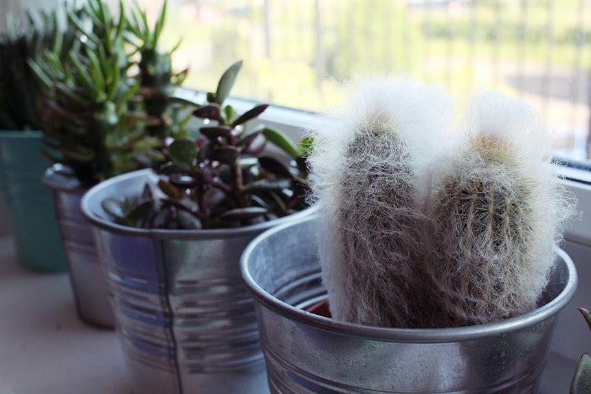 old man cactus sm
