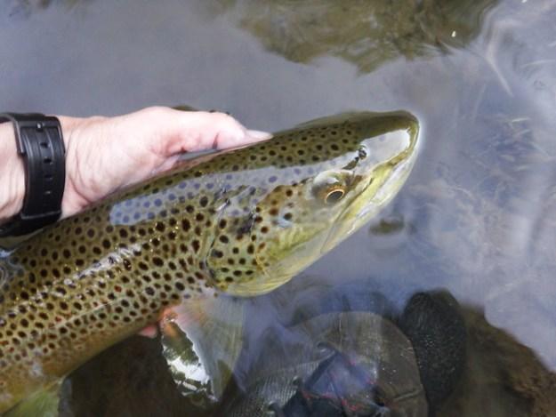 Wild Brown on the Gunpowder River